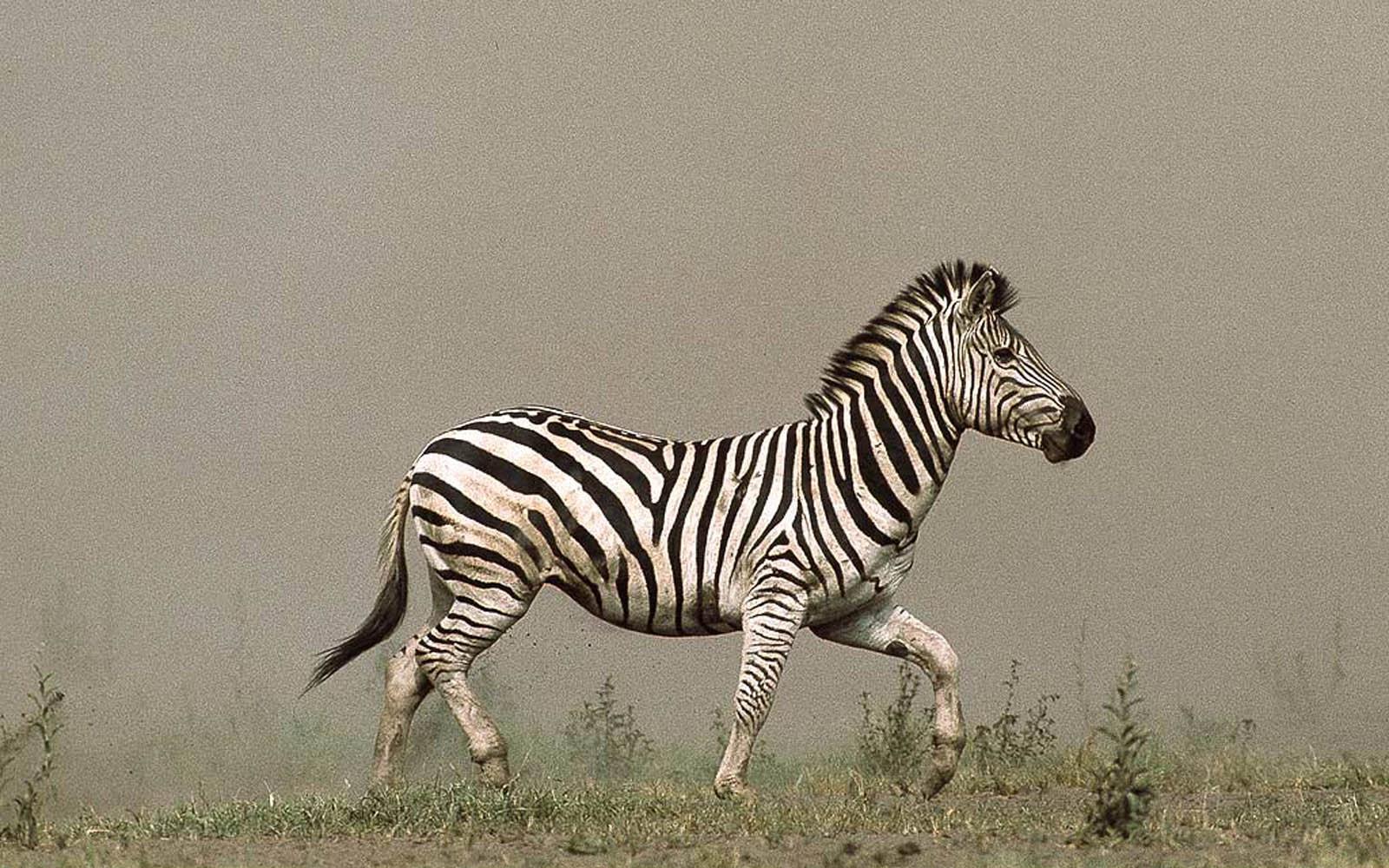 wallpapers: Zebra Wallpapers