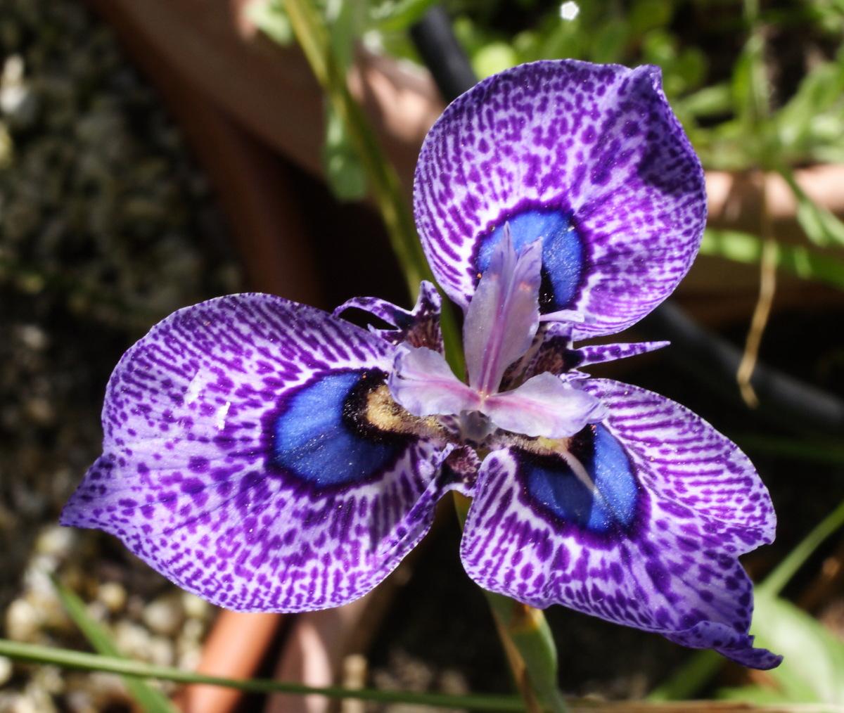 Top 28 cool flowers to grow growing cool plants growing cool plants moraea calcicola - Cool plants to grow inside ...