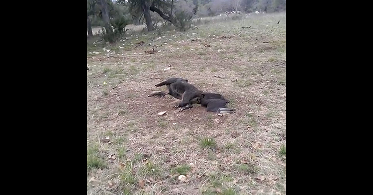 Someone found something moving near a dead pig's body.