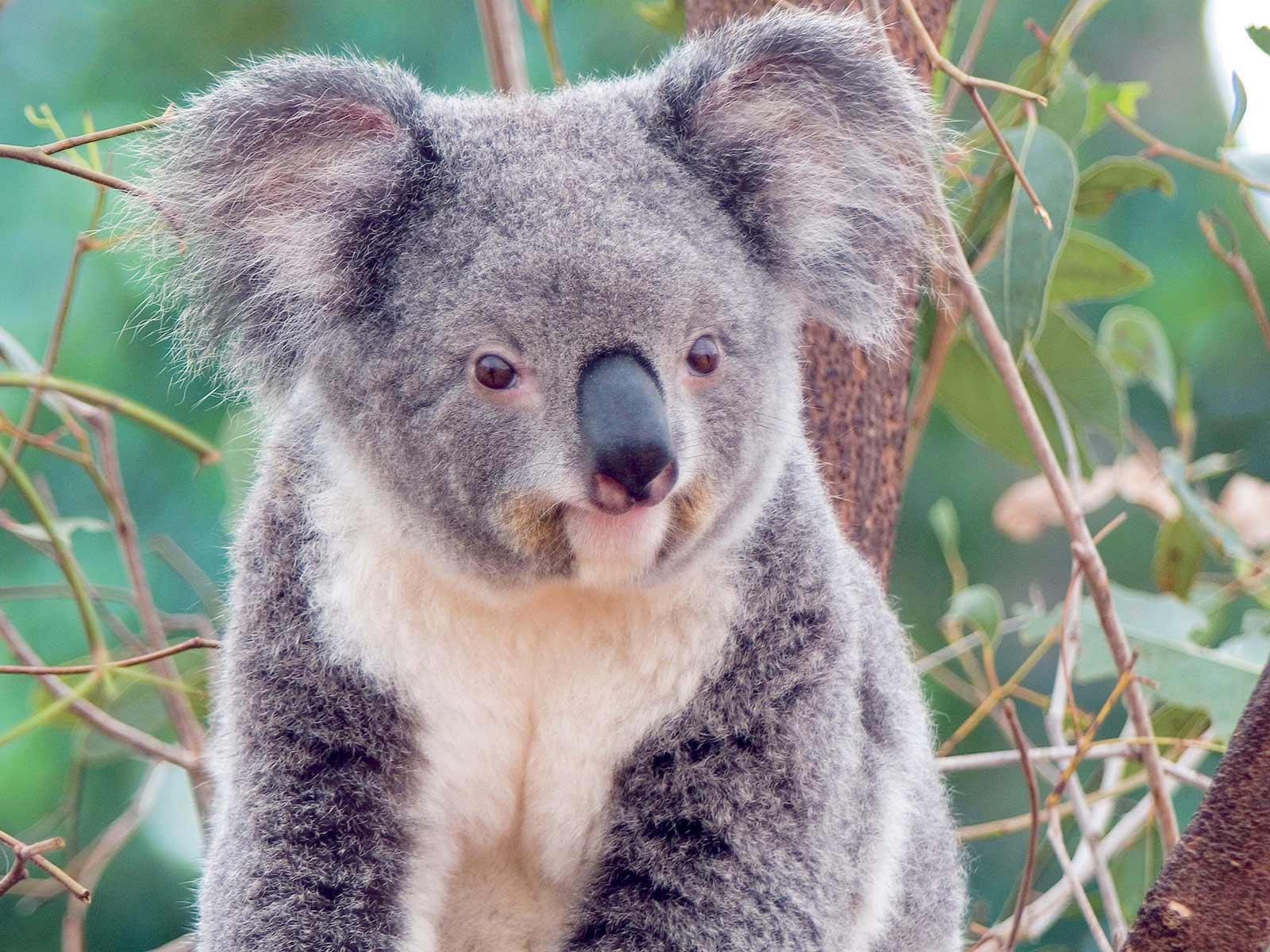 Un koala puede vivir t...