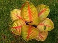 Hama dan Penyakit Tanaman Bunga Aglaonema