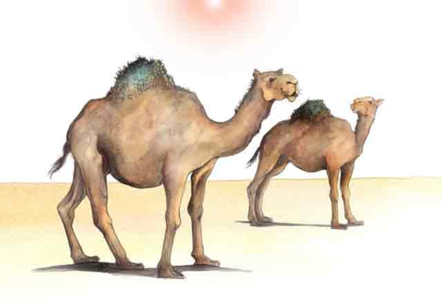 cara unta beradaptasi di padang pasir