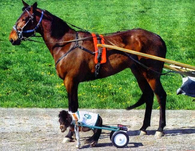 Größtes Pferd
