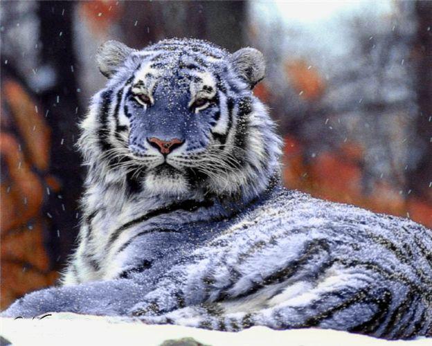Amazing World: The Rarest Blue Maltese Tiger