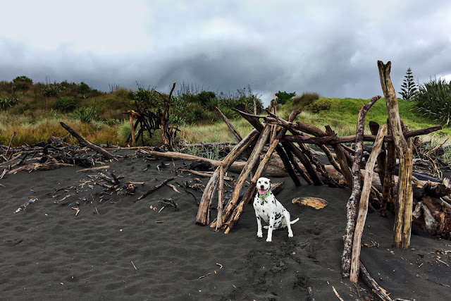 Dalmatian dog on black sand beach sitting beside driftwood shelter