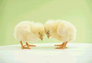 pintinhos aprendem quando estão dentro do ovo, antes de nascer
