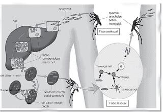 Gambar siklus hidup plasmodium