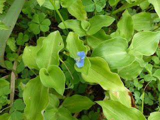 Commelina benghalensis - Comméline du Bengale