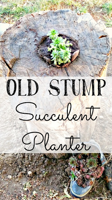 Planting succulents in an old tree log