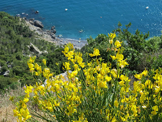 Ginestra (broom) blooming over the Gulf of the Poets.