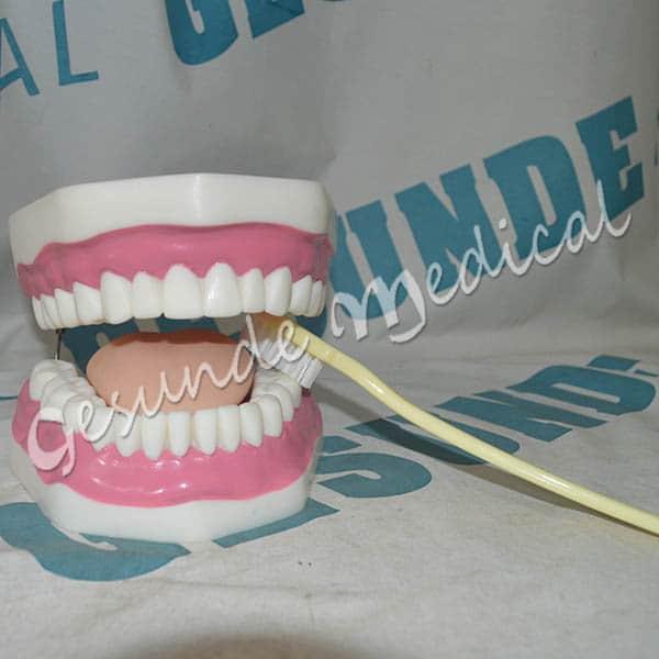 toko torso organ tubuh replika gigi manusia