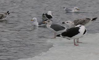 Lesser Black-backed Gull X herring Gull hybrid Newfoundland