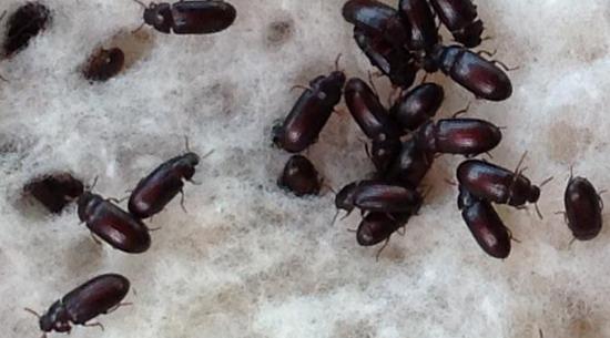 manfaat semut jepang dan cara mengkonsumsinya