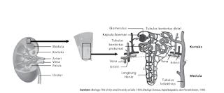ginjal mengandung jutaan nefron
