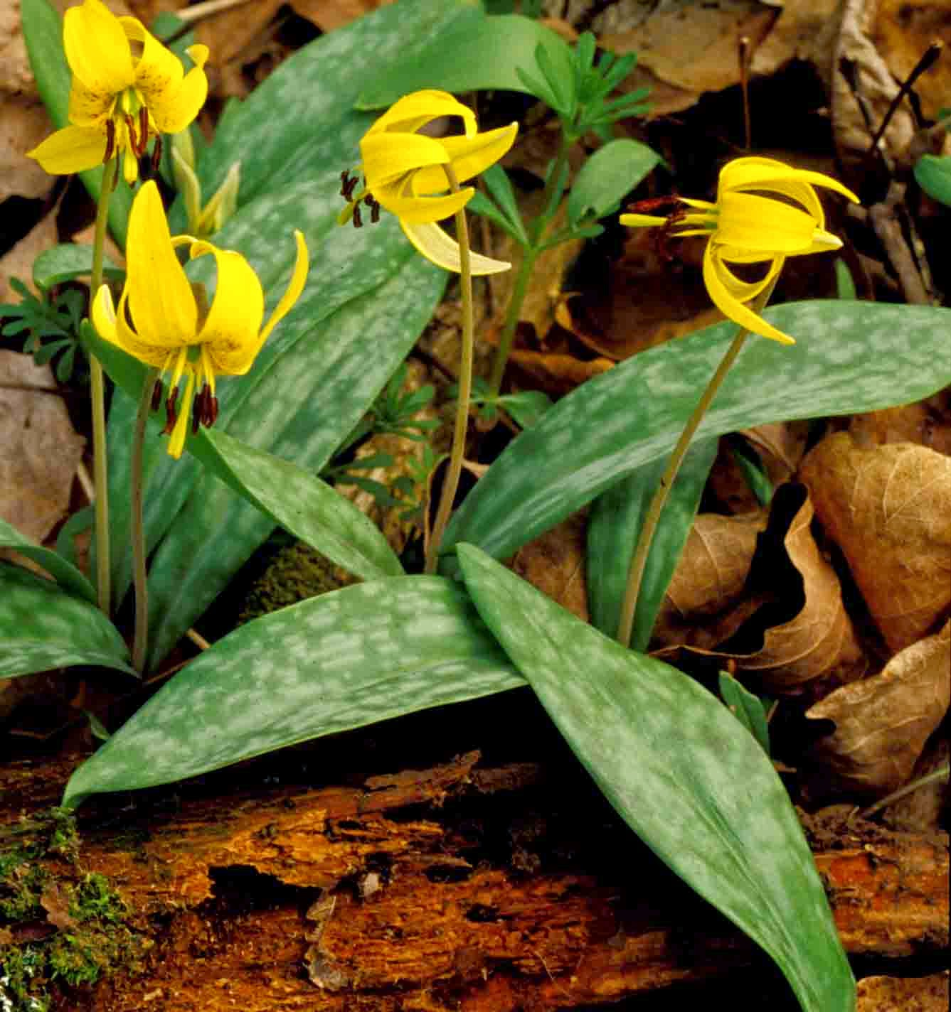 Native Plants: Kentucky Native Plant And Wildlife: April 2014