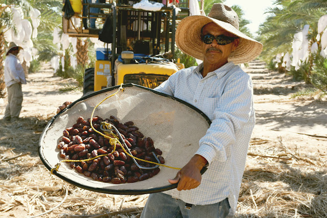 Medjool Dates Harvest in Yuma, Arizona 2015 #medjooldates #travel #Arizona