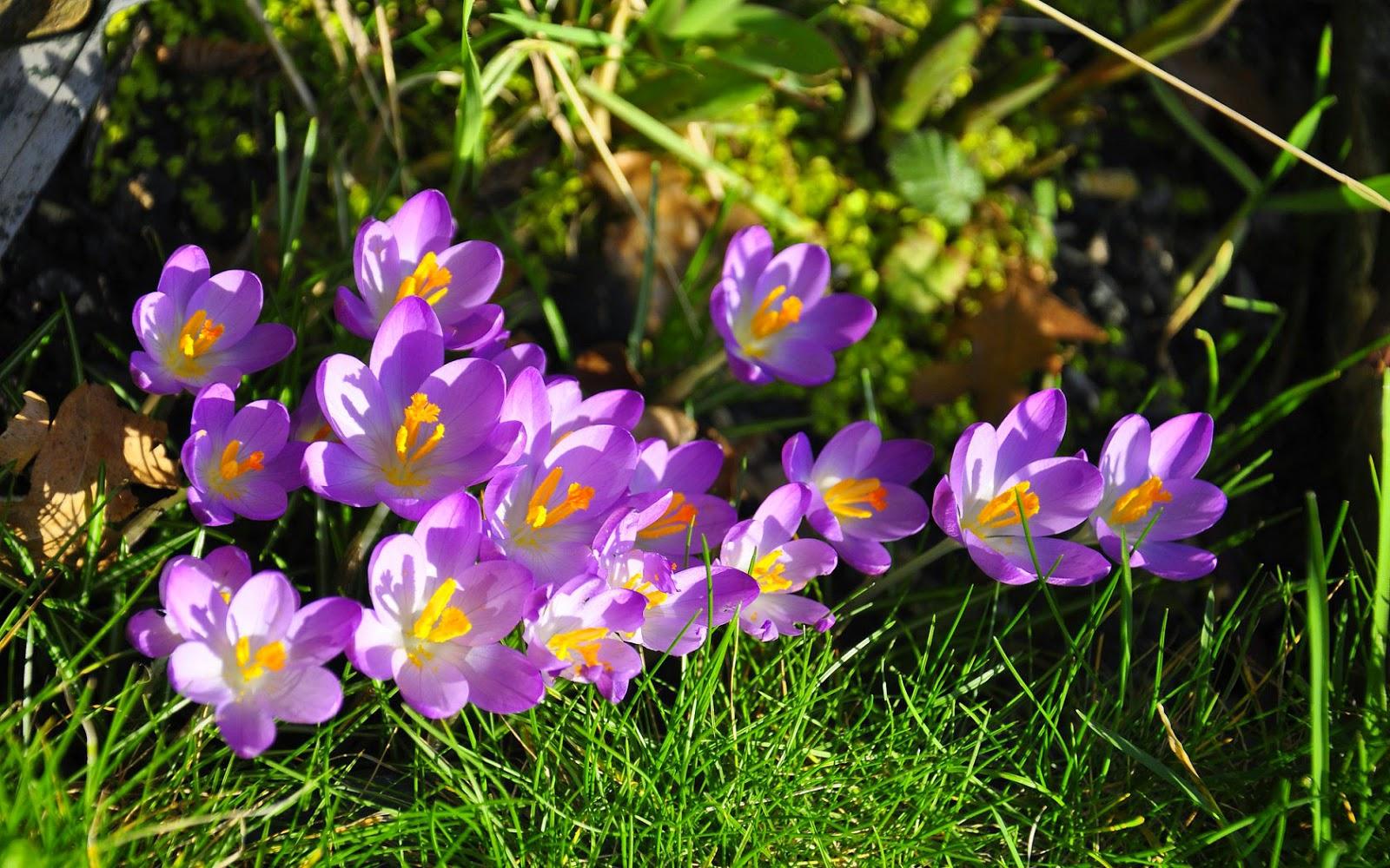 Paarse krokussen in bloei in het wild