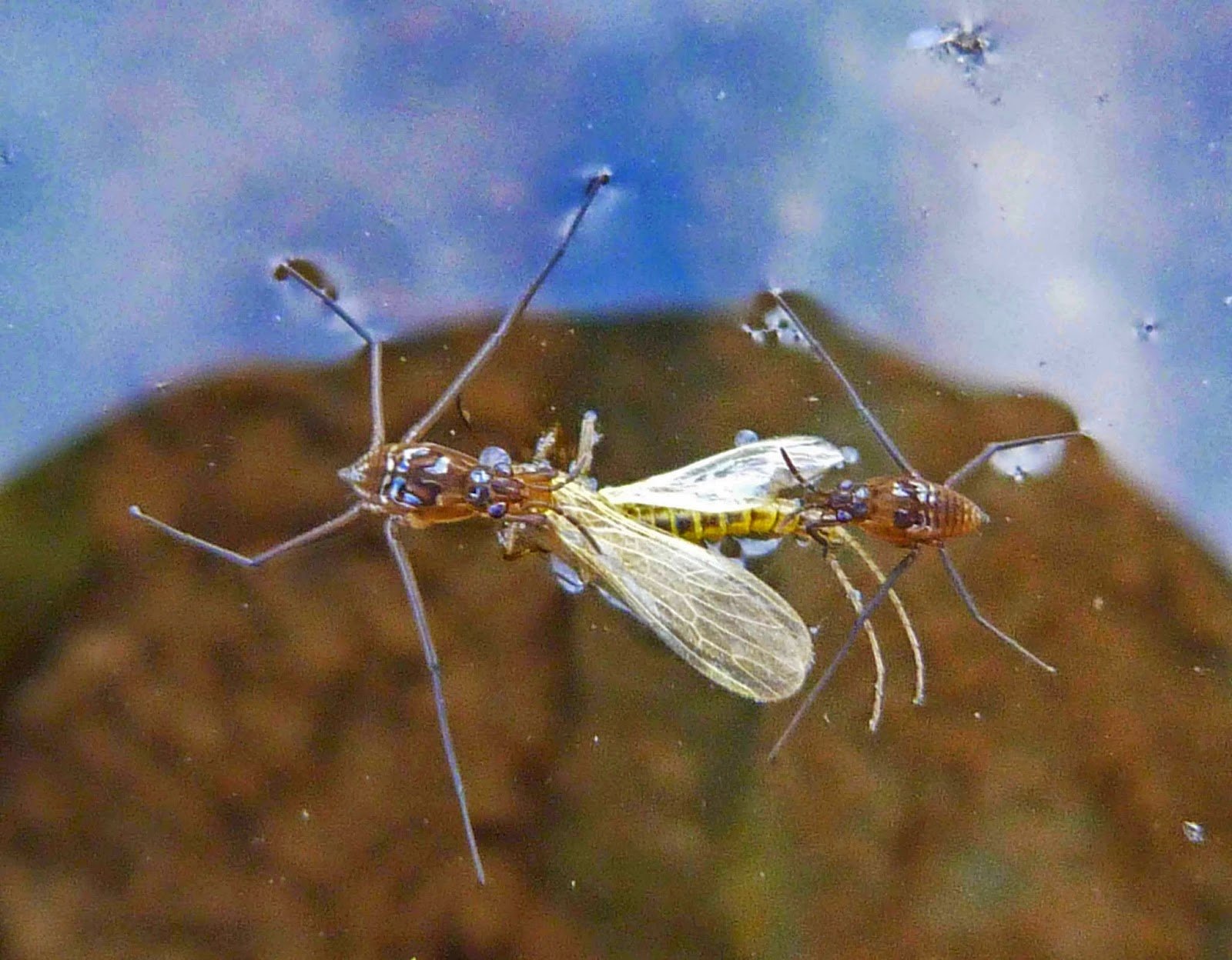 Insects of Scotland: True Bugs