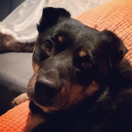 image of Zelda the Black and Tan Mutt looking at me with big puppy dog eyes