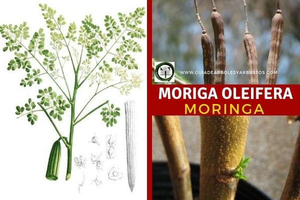 Moringa, Moriga oleifera,  árbol originario de la India, es una Leguminosa