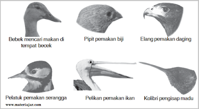 Macam Macam Bentuk Adaptasi Burung, adaptasi burung sesuai makanannya