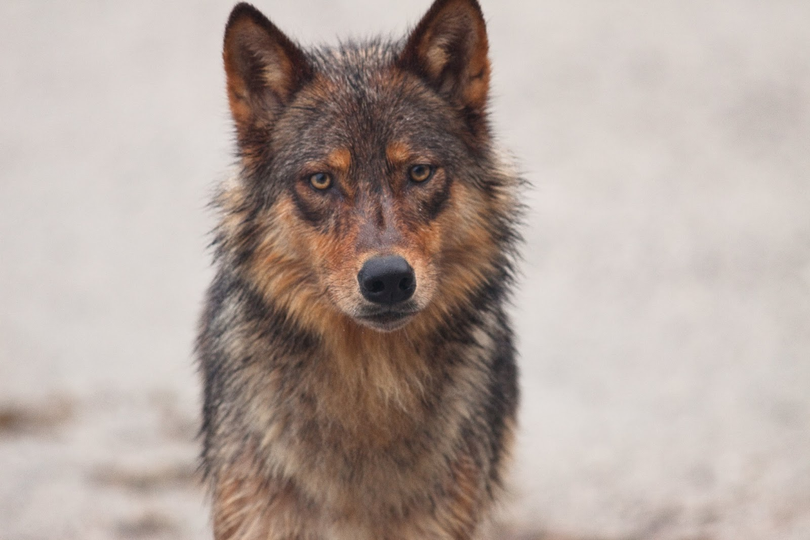 Wolves: Methow Conservancy: Wolves In The Land Of Salmon