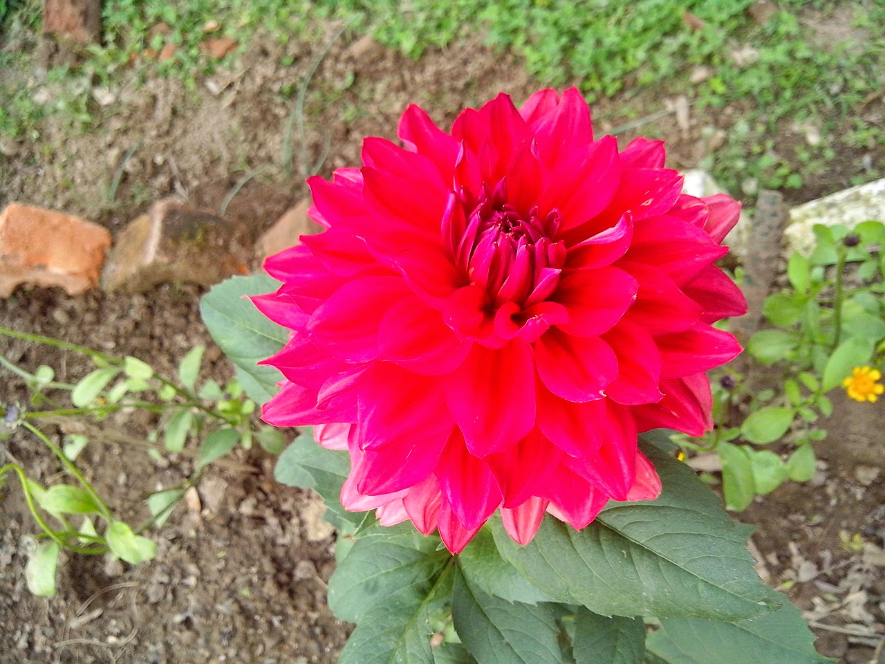 Bringing up coco march 2015 i bought dahlias ranunculus and cineraria and was now quite satisfied that at least i would be able to see some colour this flower season izmirmasajfo