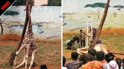 A ten-year-old Giraffe, Hai Rong, died in a freak zoo accident in the Kunming Yuantongshan Zoo in China. He was scratching his neck against the tree when he got stuck in a gap between branches leading to asphyxiation.