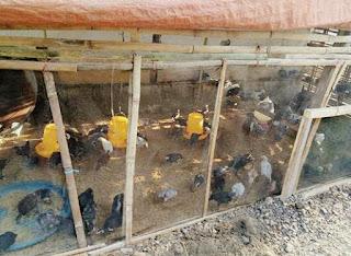 Ternak hewan ayam kampung yang paling mudah dan menguntungkan