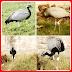 पक्षी के पैरों में बंधी इलेक्ट्रानिक डिवाइस व कैमरे को देख जनता ने पकड़वाया