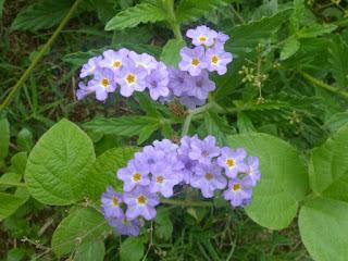 Héliotrope bleu - Verveine marron - Herbe bleue - Heliotropium amplexicaule