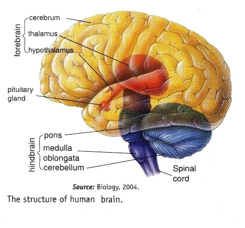brain tissue layers - photo #40