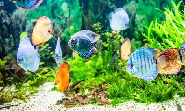 Dunia Ikan Hias - TERNAK IKAN DISCUS