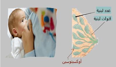 هرمونات الغدة النخامية الاكسيتونين الغدد اللبنية الجزء العصبى
