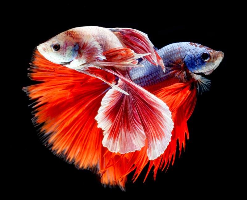 Ikan Cupang Ikan Cupang