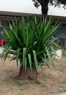 Una Yucca nana, e pure seduta!