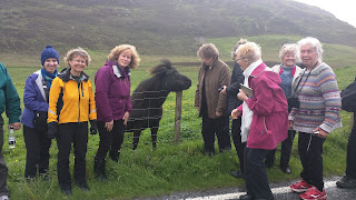 Scottish harp tour group playing with a cow