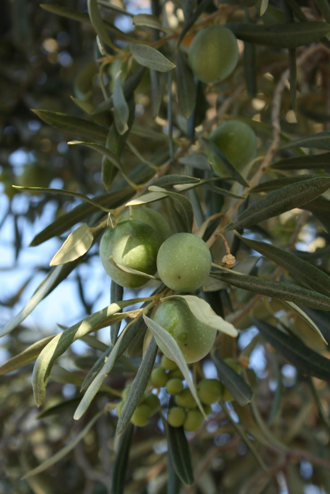Fruit Warehouse Olive Olea Europaea