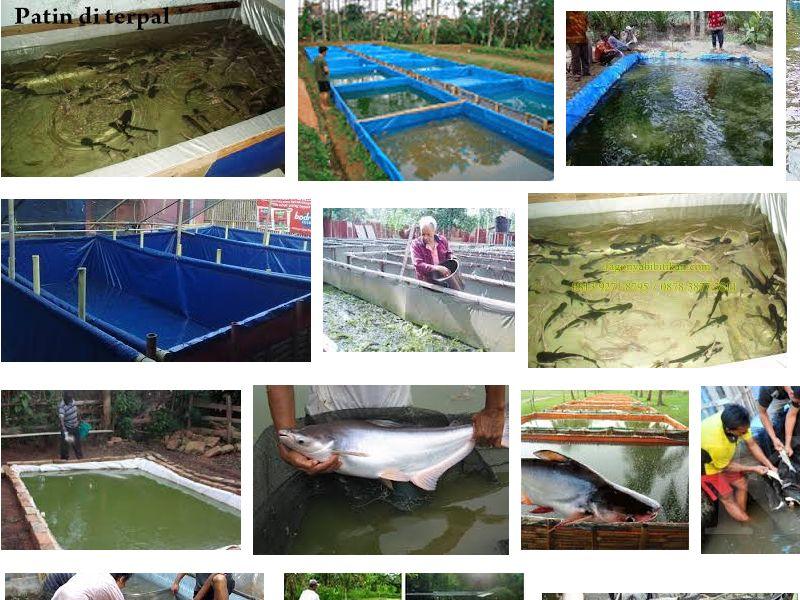 Budidaya Ikan Patin di Kolam Terpal