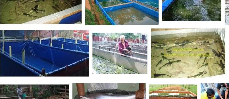 Teknik Budidaya Ikan Patin di Kolam Terpal yang Berhasil