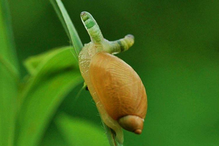 Leucochloridium Paradoxum Salyangozları zombileştirilmesiyle ünlü bir parazittir.
