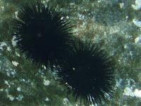 Schwarzer Seeigel © Canarian Sea