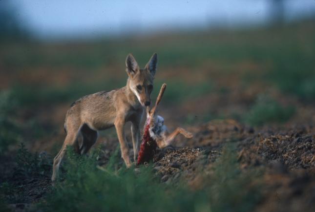 Wolf eating rabbit - photo#30