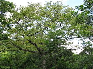 Ceiba - Kapok new leaves