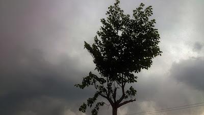 雨雲と剪定中の名前が分からない木。明日もっと切ります。