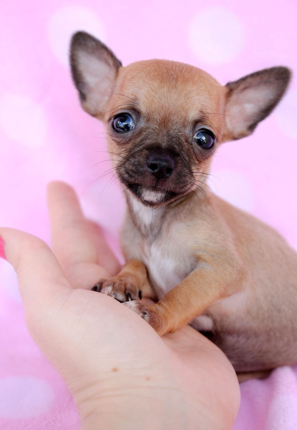 Fawn Applehead Chihuahua | Wallpapers for Fun