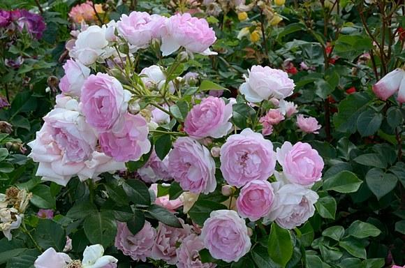 Jasmina сорт розы фото Кордес