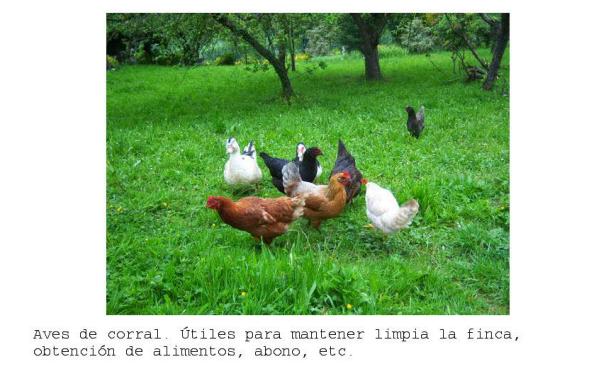 Aves de corral introducidas en sistema permacultural. Mantienen el pasto a raya y producen huevos deliciosos.