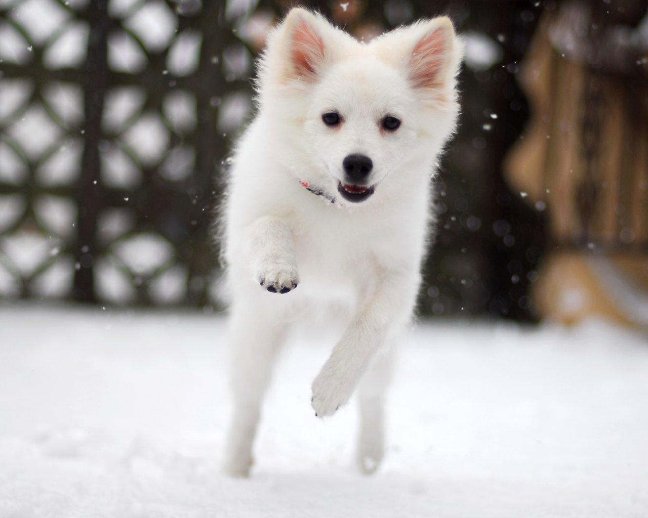 Cute Puppies Full Hd Wallpapers American Eskimo Dog