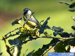 Cyanistes caeruleus - Mésange bleue - Parus caeruleus